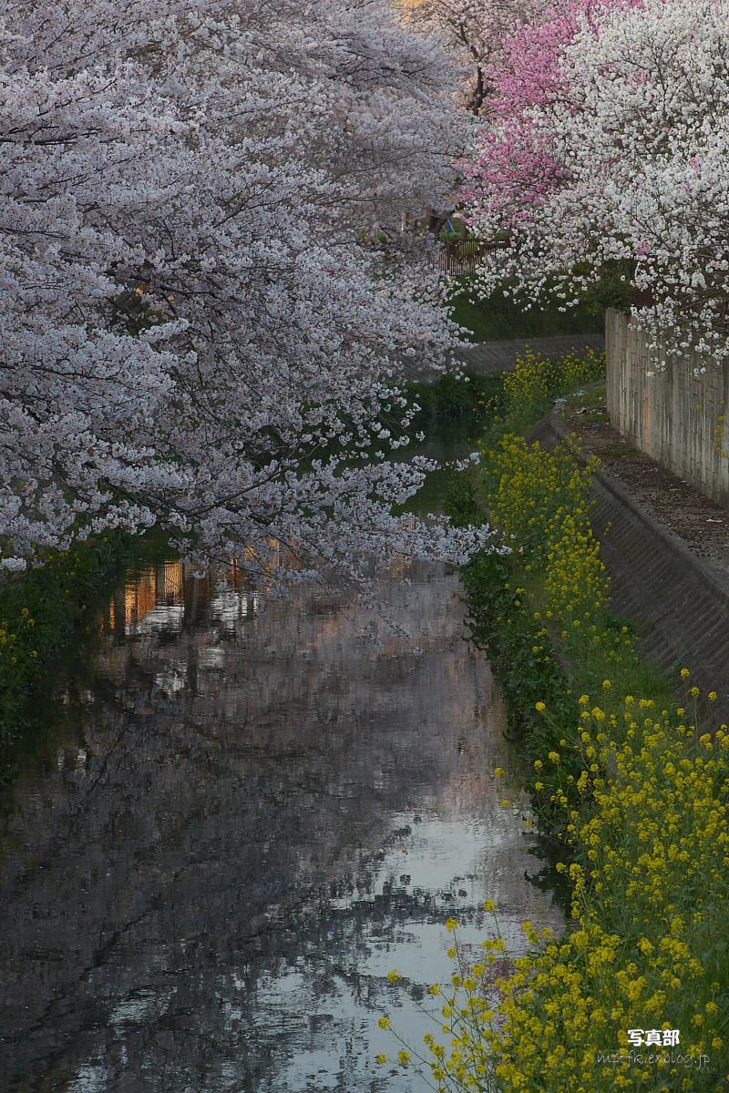 ご近所桜 ゆる~く スナップ_f0021869_12272635.jpg