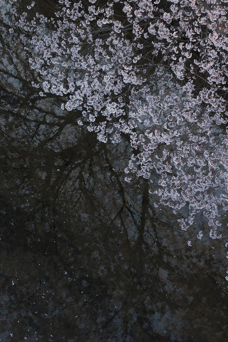 ご近所桜 ゆる~く スナップ_f0021869_12393956.jpg