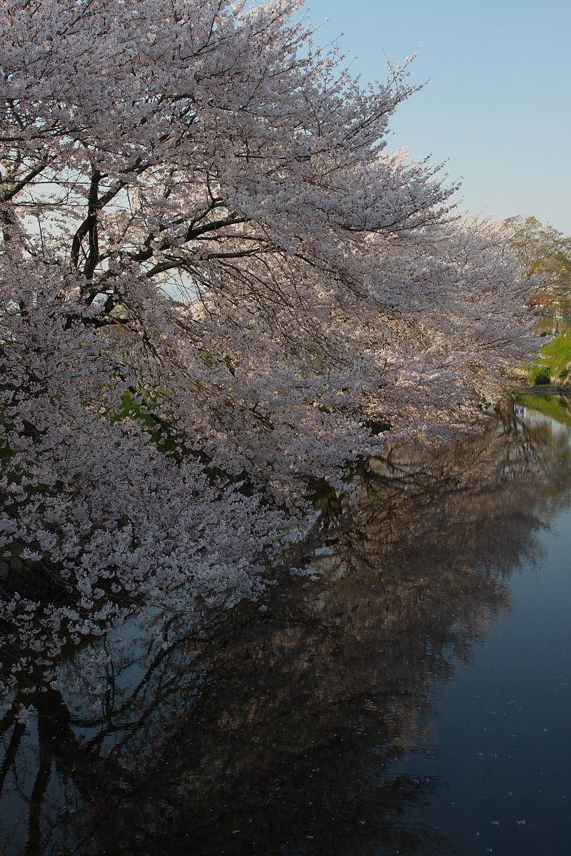 ご近所桜 ゆる~く スナップ_f0021869_12405235.jpg