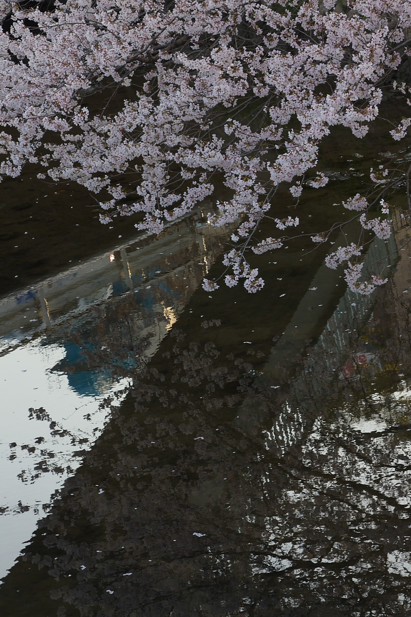 ご近所桜 ゆる~く スナップ_f0021869_1241548.jpg