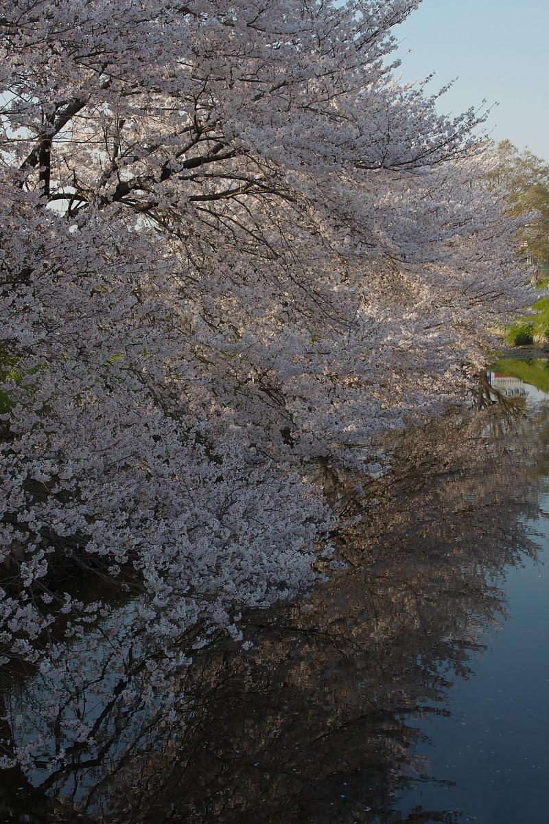 ご近所桜 ゆる~く スナップ_f0021869_12425327.jpg