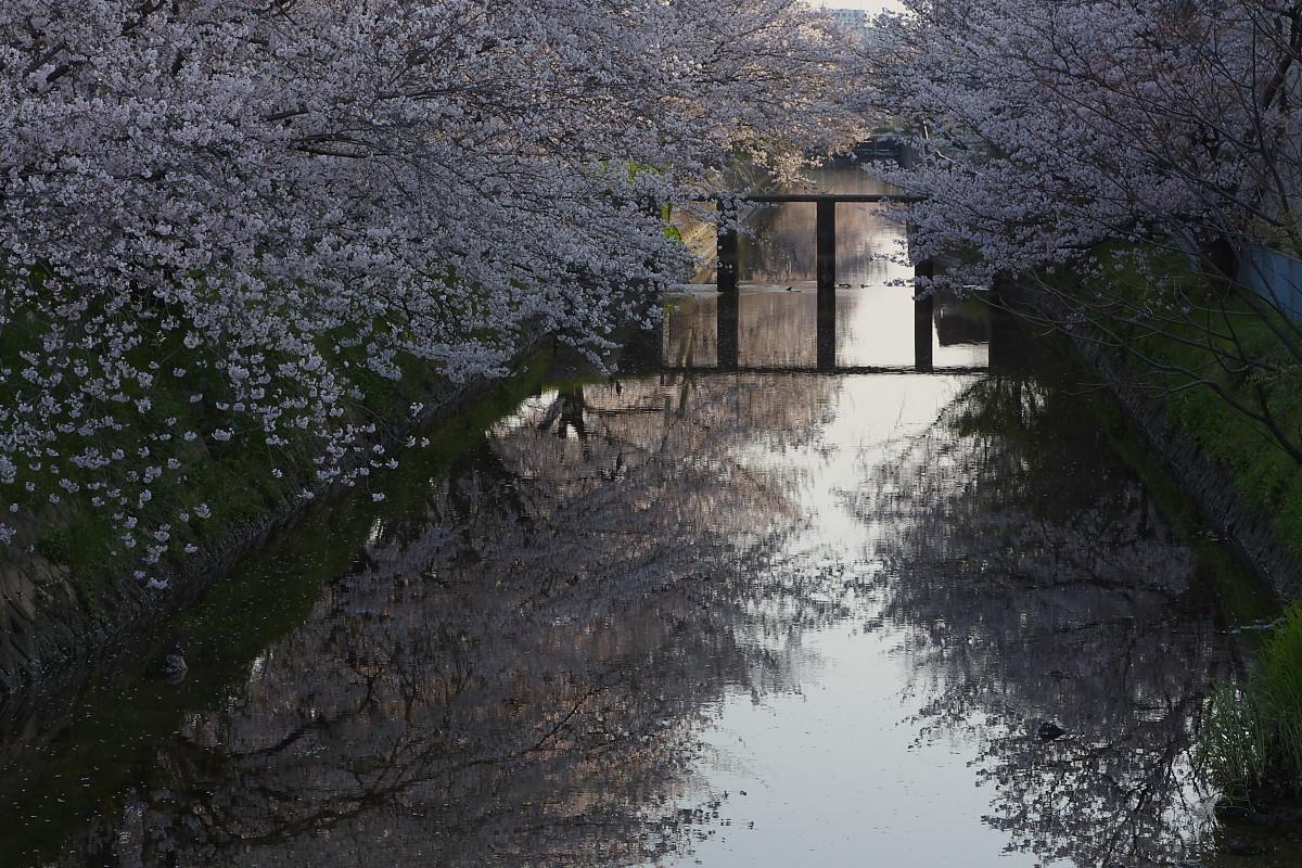 ご近所桜 ゆる~く スナップ_f0021869_12433397.jpg