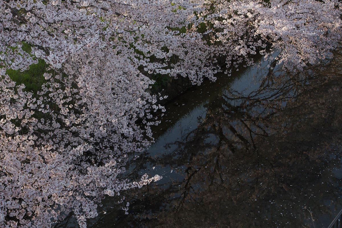 ご近所桜 ゆる~く スナップ_f0021869_1247514.jpg