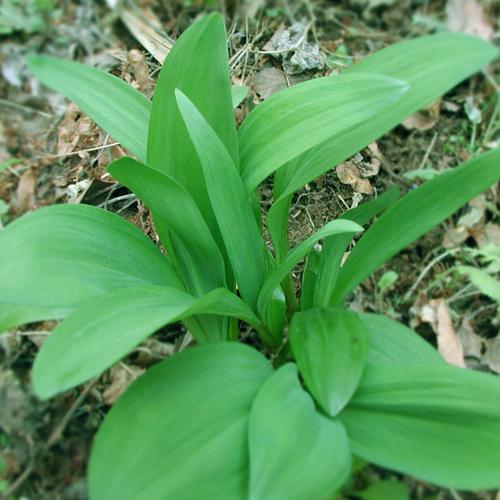 春の山菜_c0142471_10243988.jpg