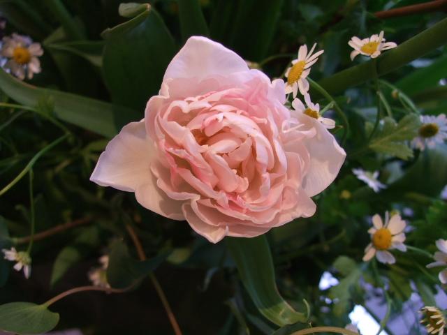 オークリーフ(チューリップの装花)_f0049672_7425029.jpg