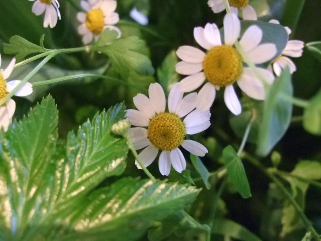 オークリーフ(チューリップの装花)_f0049672_7443215.jpg