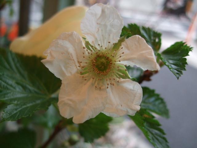 オークリーフ(チューリップの装花)_f0049672_7444253.jpg
