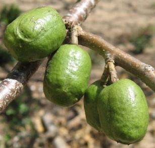 モンビン(Spondias purpurea)の果実