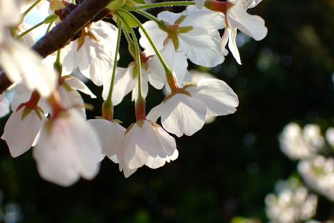平和記念公園の桜_e0045768_2311724.jpg