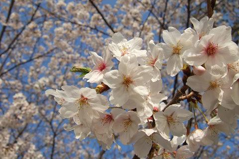 平和記念公園の桜_e0045768_2324986.jpg