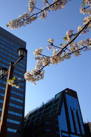 平和記念公園の桜_e0045768_2343129.jpg
