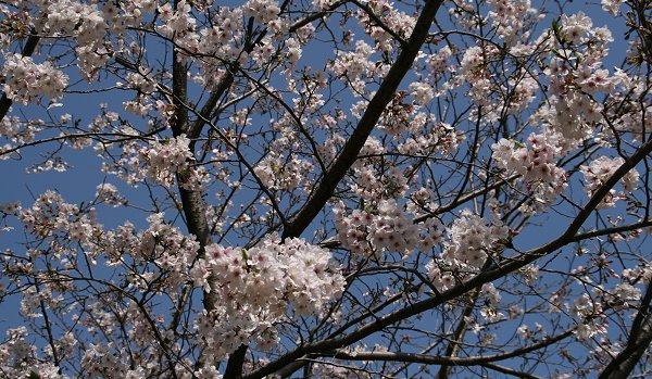 今年の桜って・・・・_d0030373_19584673.jpg