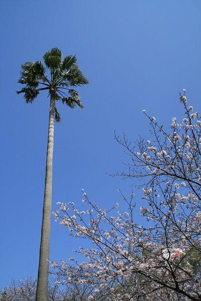 今年の桜って・・・・_d0030373_19595368.jpg