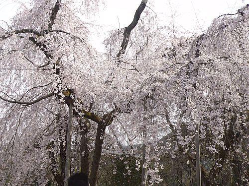 京都・・・花巡り2♪_d0078486_10221388.jpg