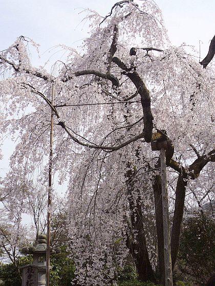 京都・・・花巡り2♪_d0078486_1023376.jpg