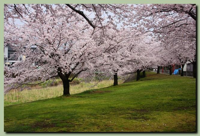 付録:金沢桜スポット5_f0079990_10515455.jpg