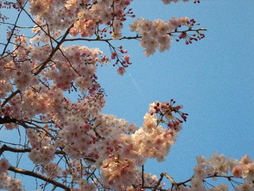 ■桜の日々_d0051613_23131424.jpg