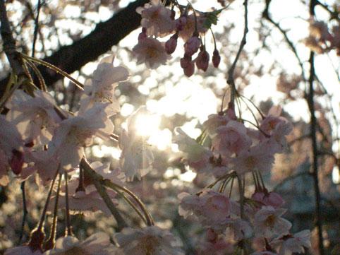 ■桜の日々_d0051613_23144122.jpg