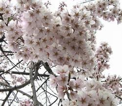 おいでまっせ山口のお花見_e0122219_1274756.jpg