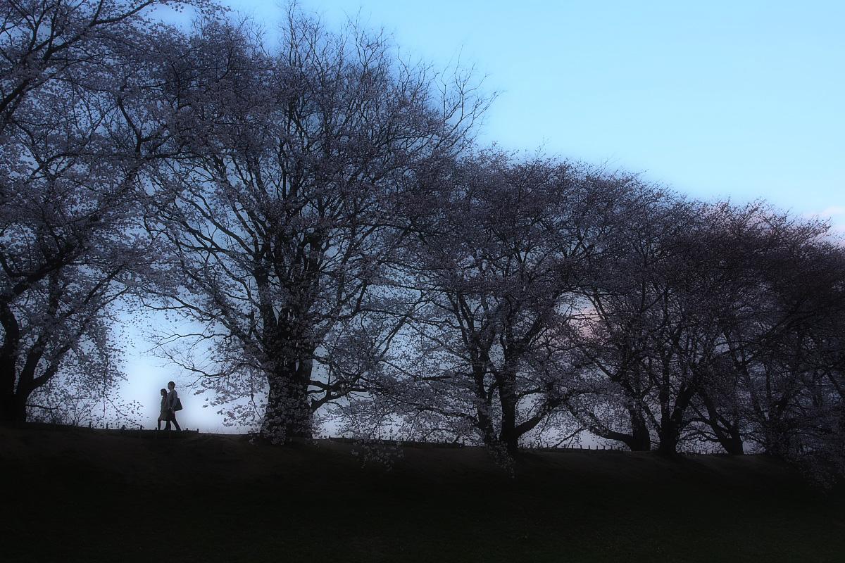 京都 八幡 背割堤の桜  2_f0021869_10112124.jpg