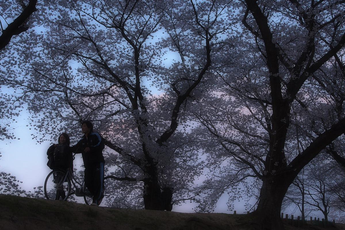 京都 八幡 背割堤の桜  2_f0021869_1013682.jpg