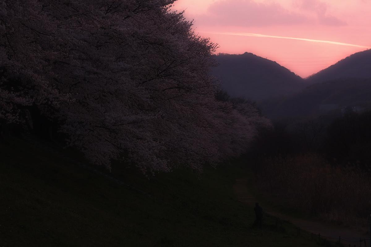 京都 八幡 背割堤の桜  2_f0021869_10145355.jpg