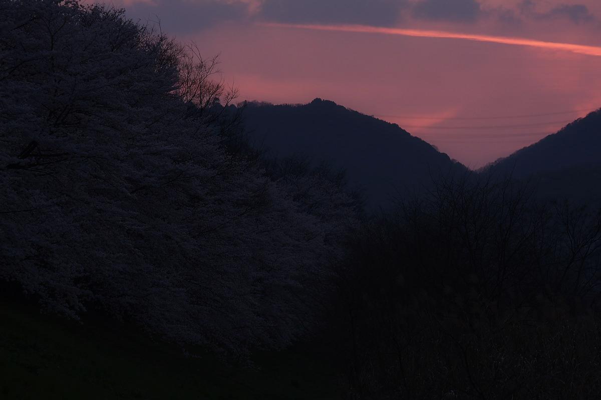 京都 八幡 背割堤の桜  2_f0021869_10151411.jpg