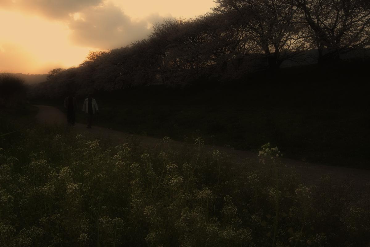 京都 八幡 背割堤の桜  2_f0021869_10173448.jpg