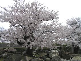 桜満開!_e0118827_18265962.jpg