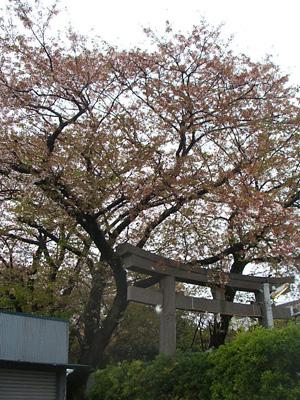 桜の終わりと久々の・・・_f0129627_1657134.jpg