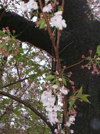 桜の終わりと久々の・・・_f0129627_1743661.jpg
