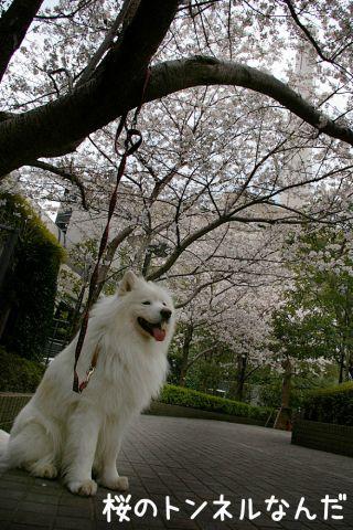 金王桜_c0062832_17462921.jpg