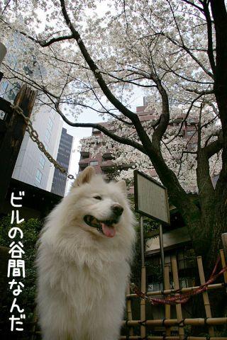 金王桜_c0062832_1747265.jpg