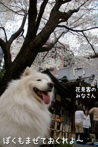 金王桜_c0062832_1748633.jpg