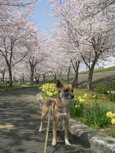 お花見ドライブ~桂川~_b0025947_18461229.jpg