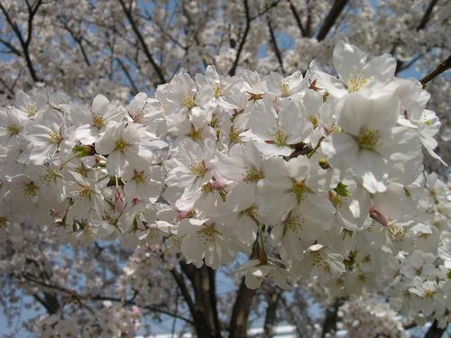 お花見ドライブ~桂川~_b0025947_1848763.jpg