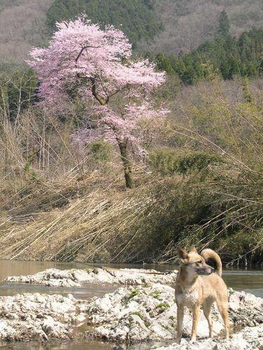 お花見ドライブ~桂川~_b0025947_1854564.jpg