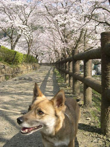 お花見ドライブ~桂川~_b0025947_19233180.jpg