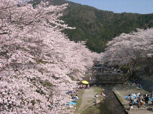 お花見ドライブ~桂川~_b0025947_19234985.jpg