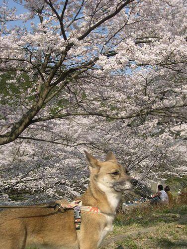 お花見ドライブ~桂川~_b0025947_1924950.jpg