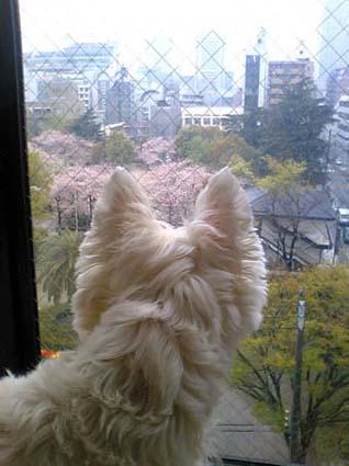 桜と雨とチューリップ_b0107163_23231378.jpg