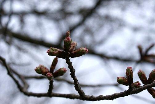 桜は咲いた かな?_a0027972_1741117.jpg