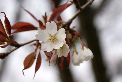 桜は咲いた かな?_a0027972_1762683.jpg