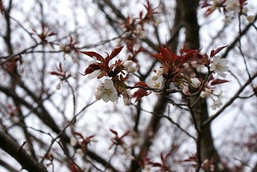 桜は咲いた かな?_a0027972_1764858.jpg