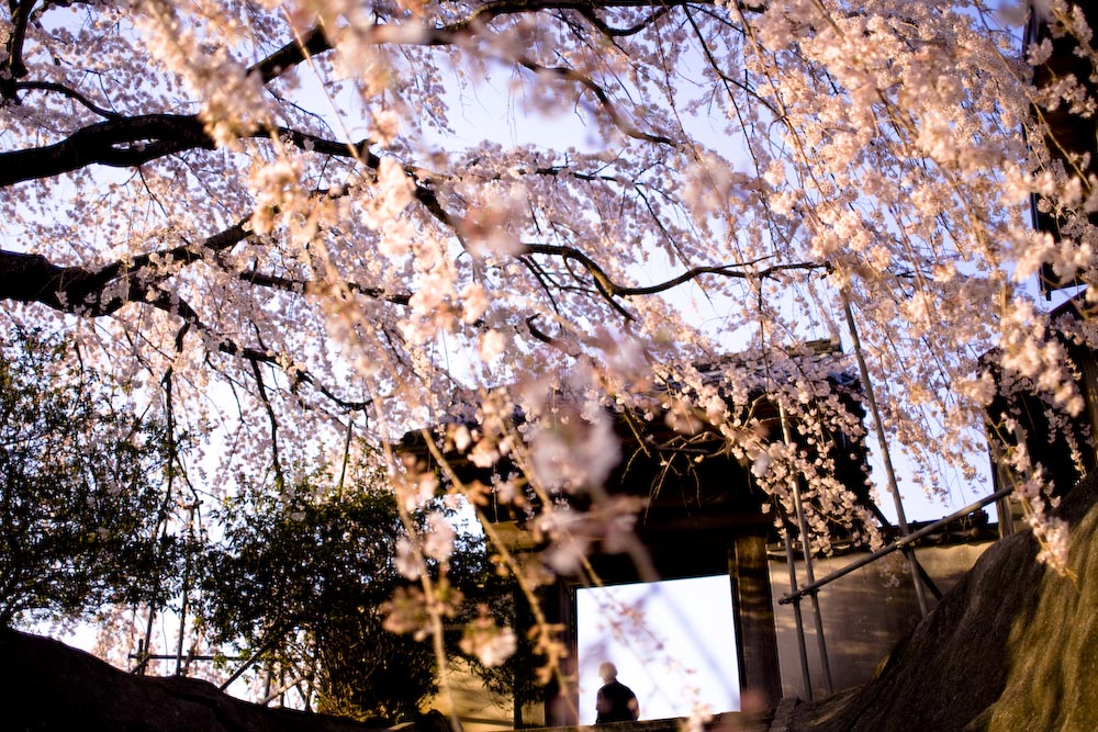 枝垂れ桜2_c0150383_2315577.jpg