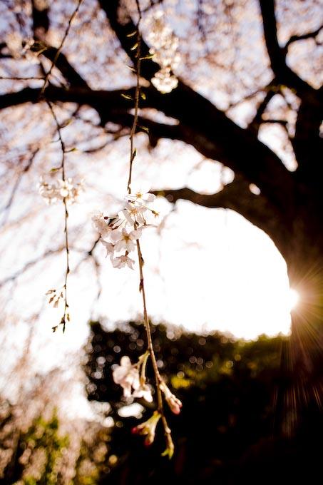 枝垂れ桜2_c0150383_23171046.jpg
