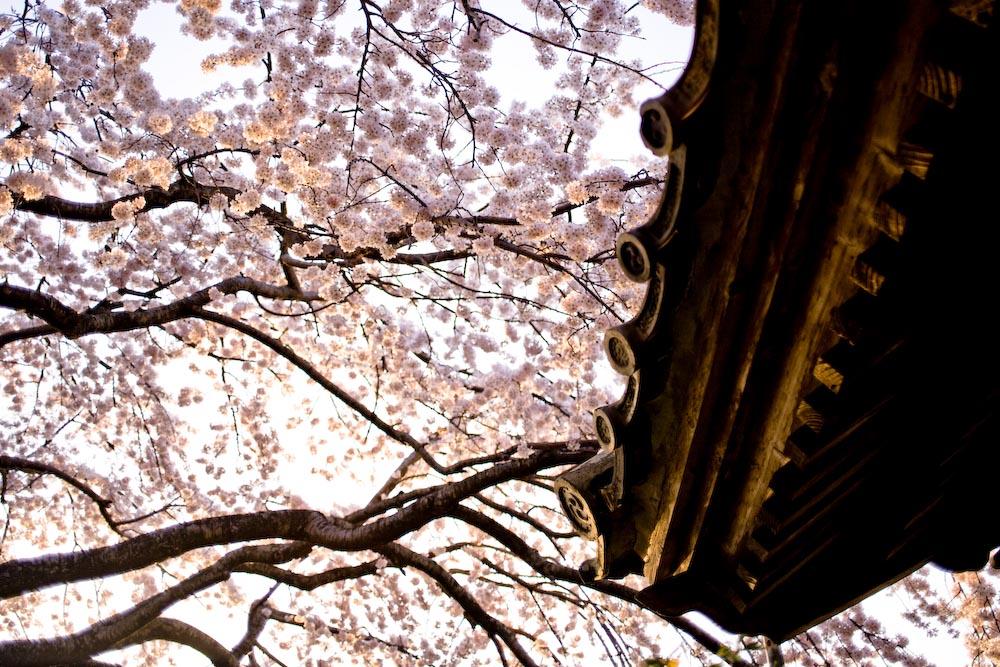 枝垂れ桜2_c0150383_23192261.jpg