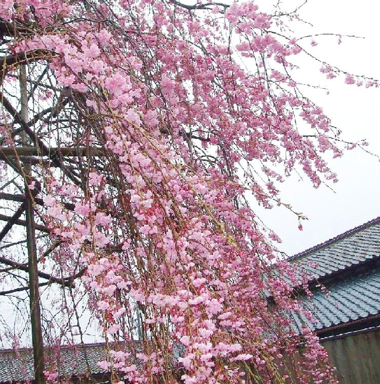 桜が満開です☆_e0135219_20141326.jpg