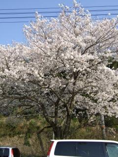 桜だより⑩坂町北新地_b0095061_19395351.jpg