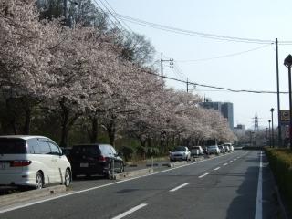 桜だより⑩坂町北新地_b0095061_1940080.jpg